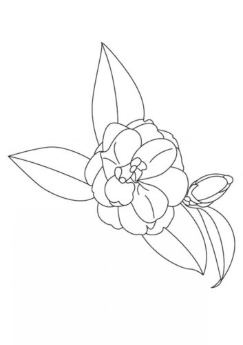 15 Camellia flowers coloring pages