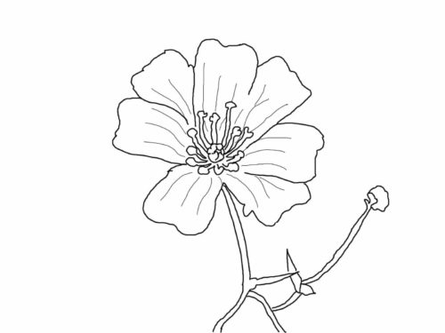 2 Babys Breath flowers coloring pages