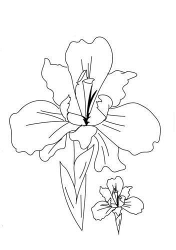 27 Iris flowers coloring pages