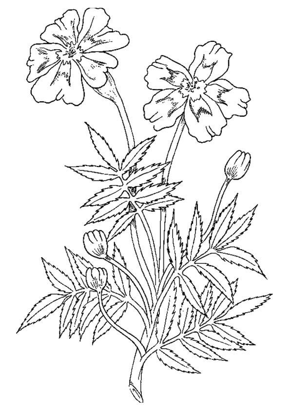 Marigold flowers coloring pages