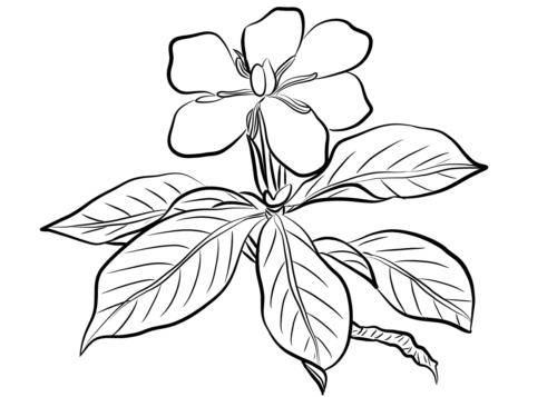 4 Gardenia flowers coloring pages