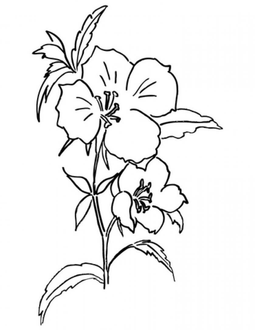 5 Godetia flowers coloring pages