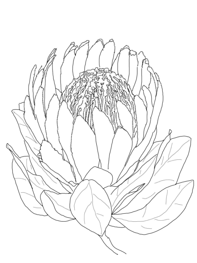 Protea flower coloring pages