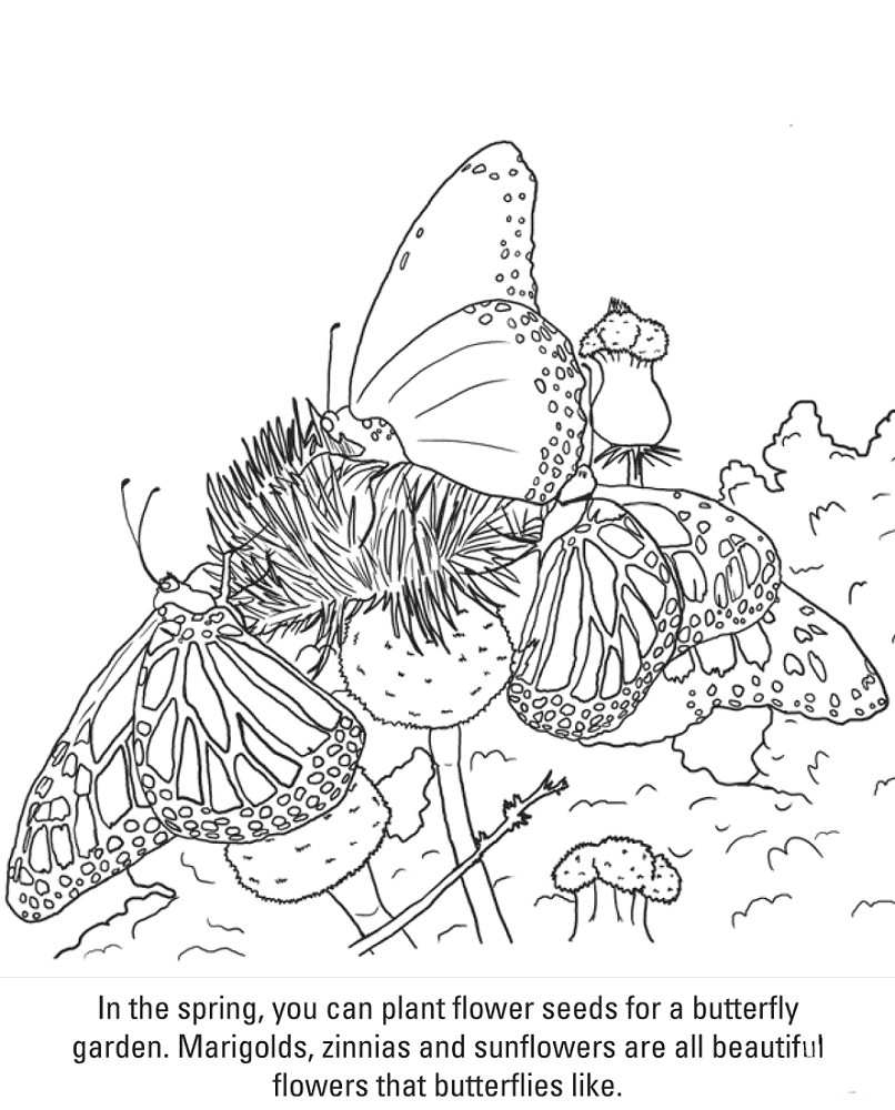 Butterfly Coloring Page With Facts