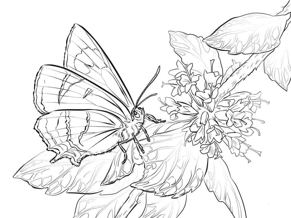 Butterfly Coloring Pages Brown Hairstreak