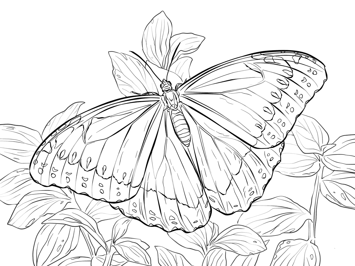 Morpho Peleides Butterfly Coloring Page