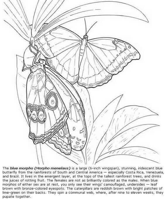 The Blue Morpho Butterfly Coloring Page