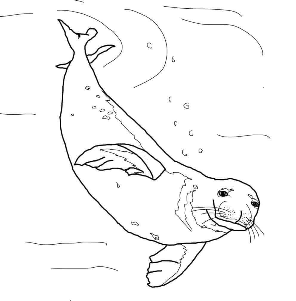 Monk Seal Coloring Pages