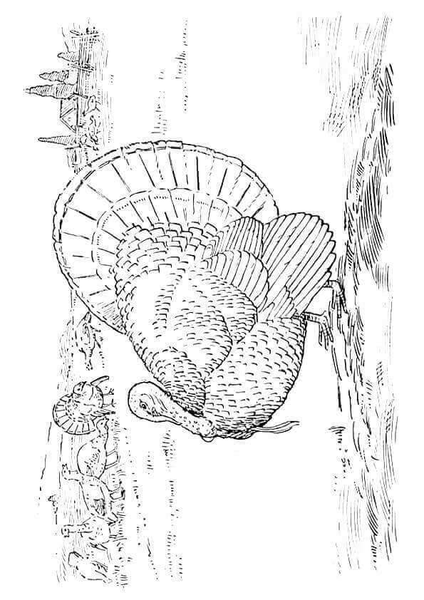 Goulds Wild Turkey Coloring Sheet
