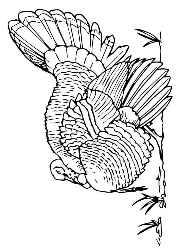 Merriams Wild Turkey Coloring Page