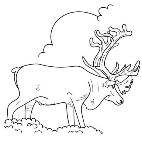 Alaska Yukon Barren Ground Caribou Coloring Page