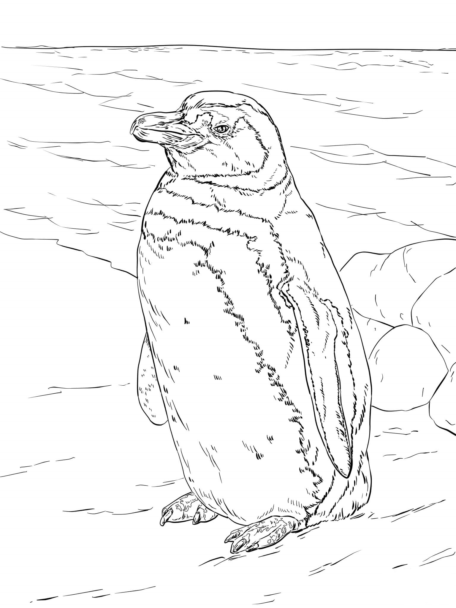 Magellanic Penguin Coloring Page