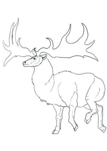 Norway Islands Reindeer Coloring Page