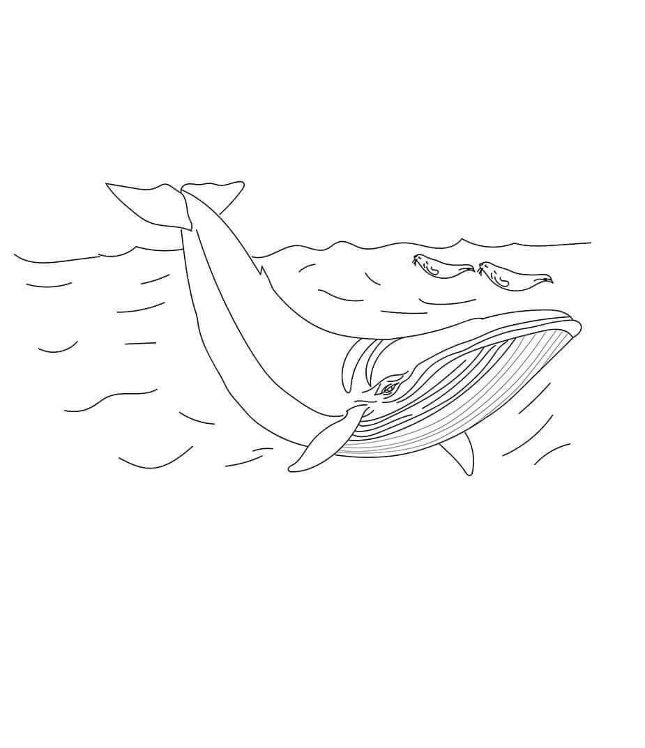 Minke Whale coloring picture