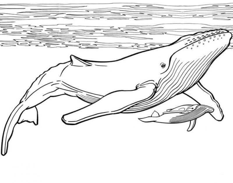 Whale and Calf coloring page