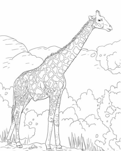 The Angolan Giraffe or the Namibian Giraffe