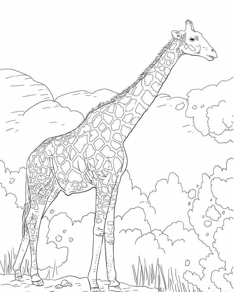 The Angolan Giraffe or the Namibian Giraffe