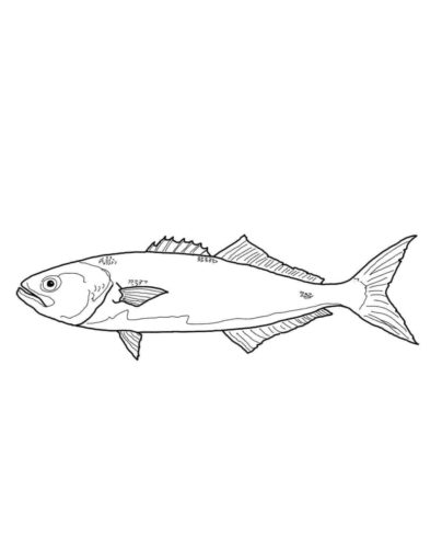 Bluefish Coloring Page