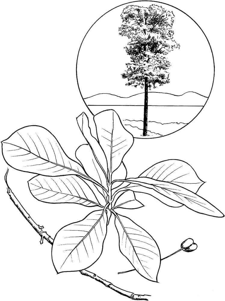 Black gum tree coloring page