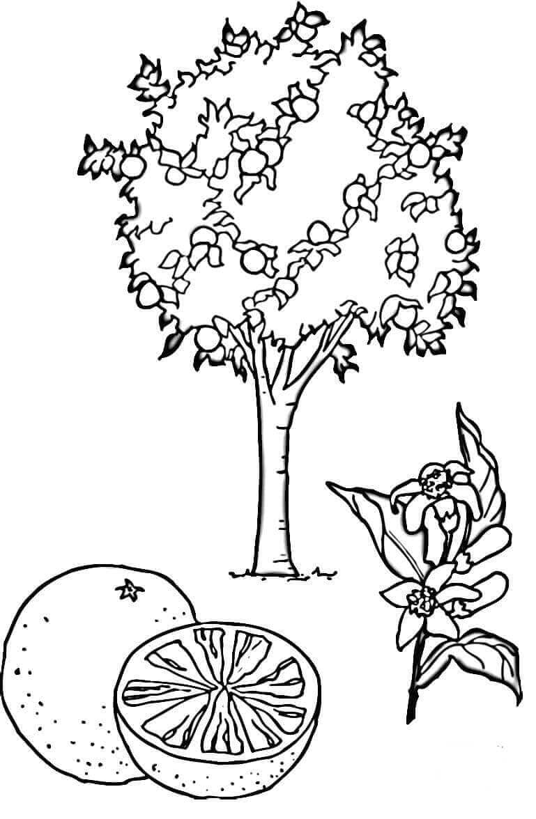 Orange Tree coloring page