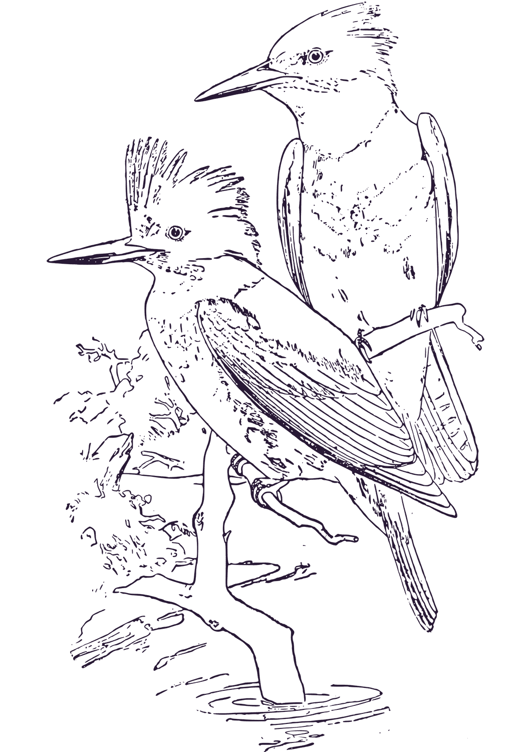 Belted King Fishers