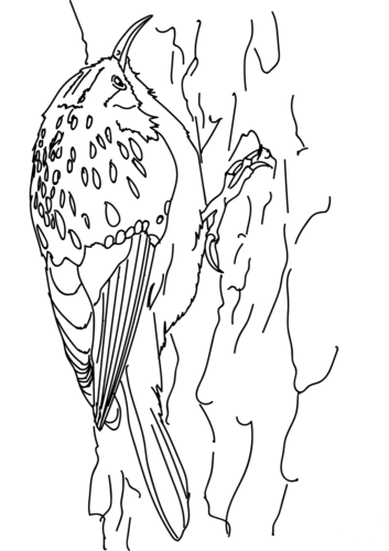Brown Creeper coloring page
