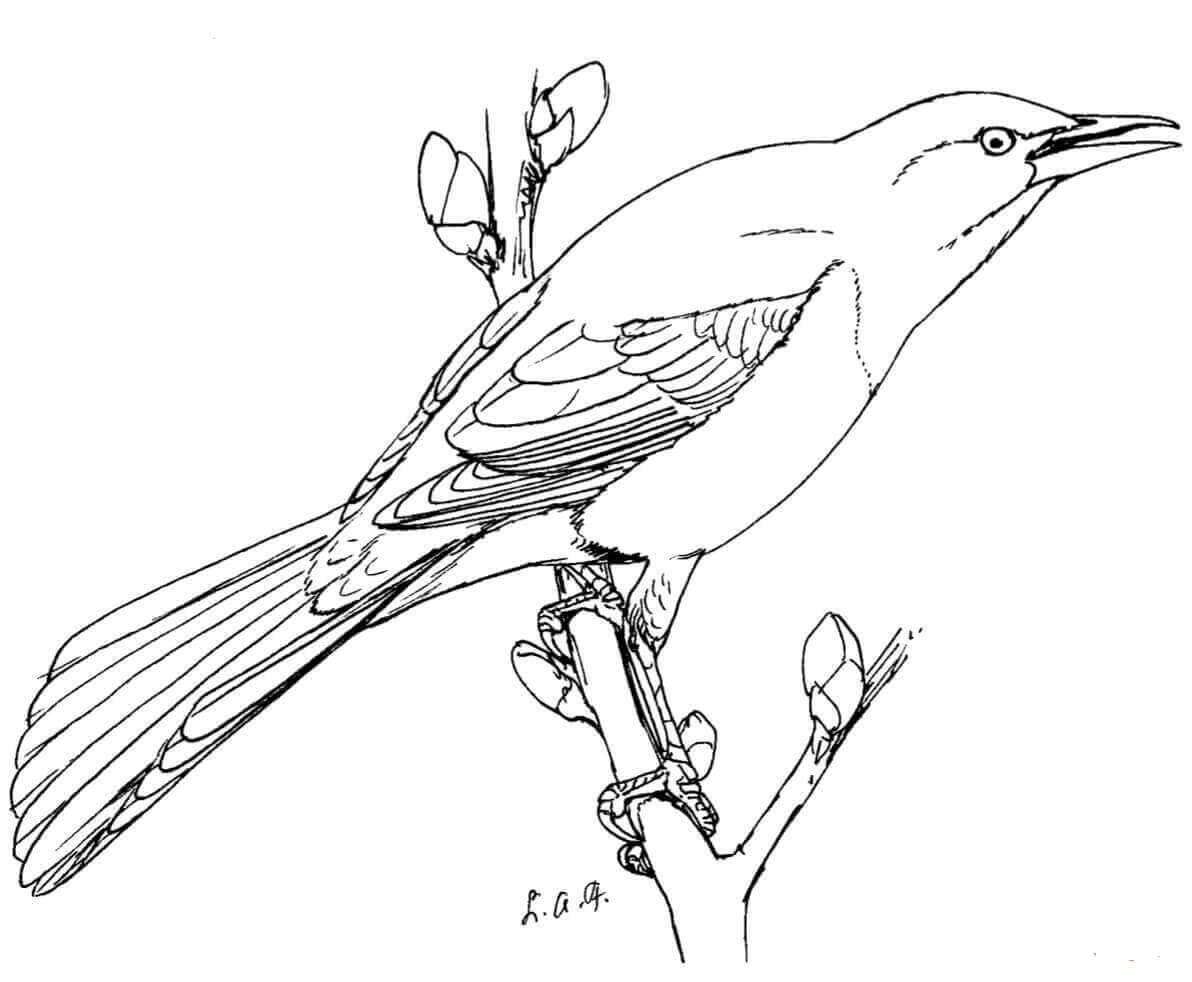 Common Grackle coloring page