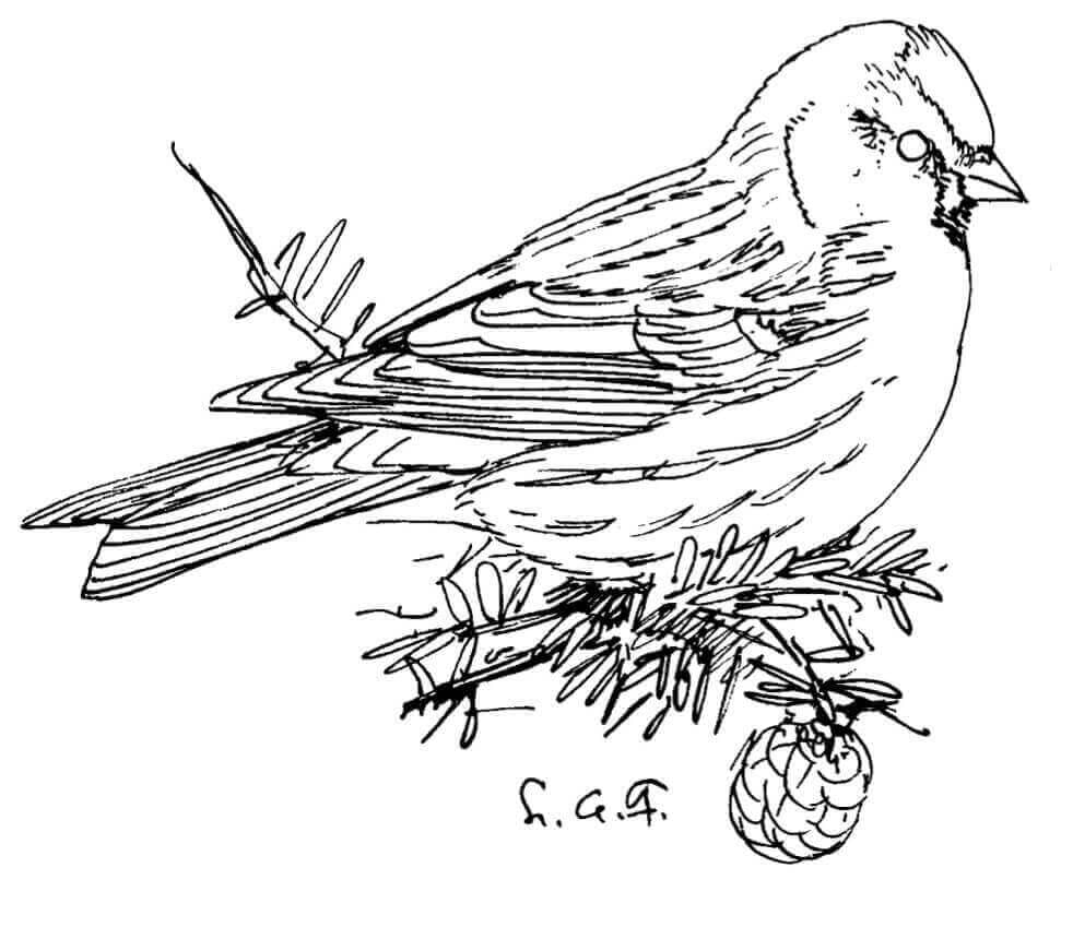 Common Redpoll coloring page