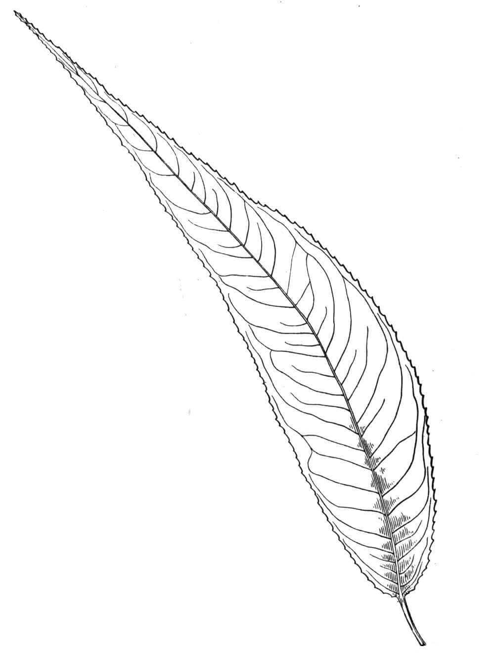 Almond Willow Leaf