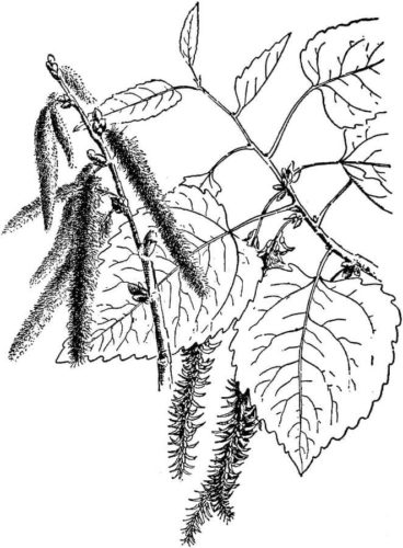 Aspen leaves coloring page