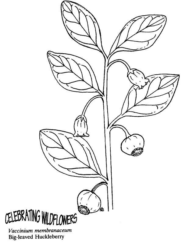 Big Leaved Huckleberry leaves