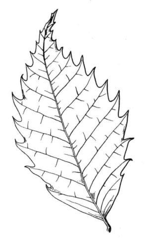 Chestnut Tree leaf