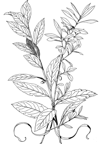 Olive tree leaves coloring page