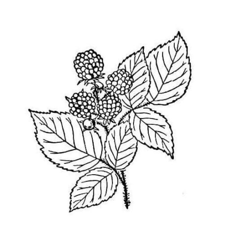 Raspberry with the leaves