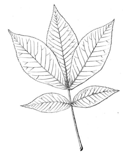 Shagbark Hickory Leaf coloring page