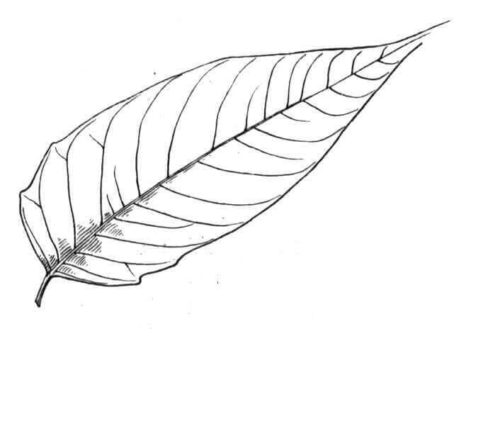 Tree of Heaven Leaf coloring page