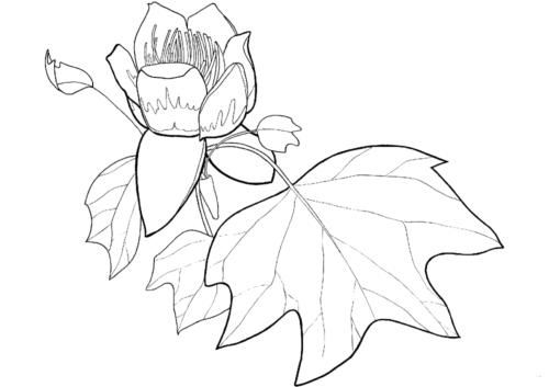 Tulip Poplar Flower and Leaf