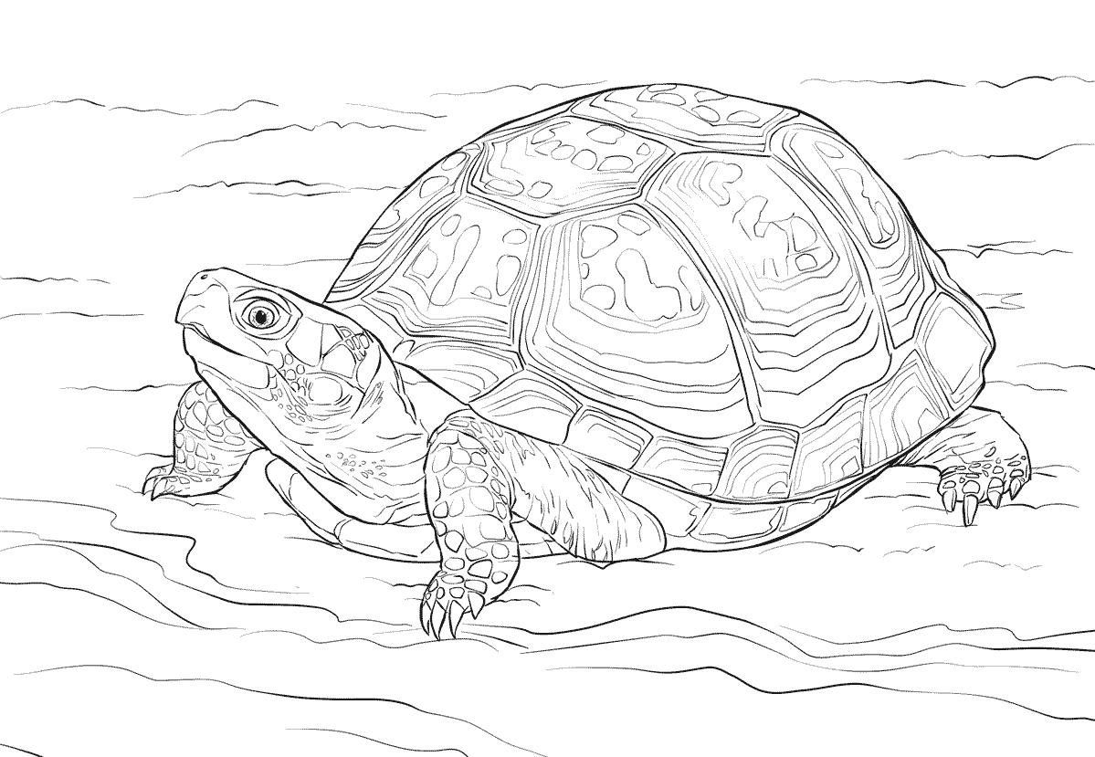 Eastern Box Turtle coloring page